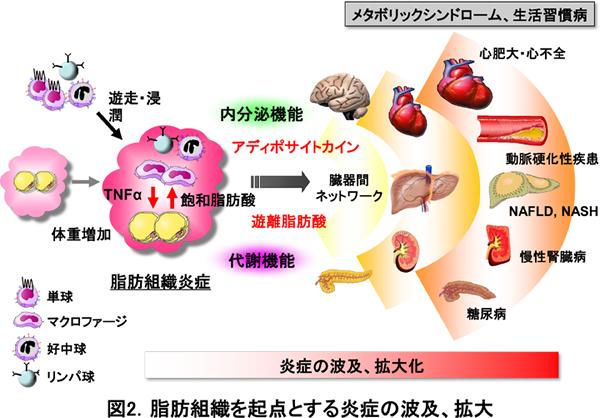 飽和脂肪酸による炎症誘導を示す図