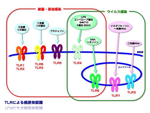 TLRについて説明した図