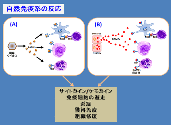 PRRによる体内因子の認識により炎症が起こる機序を説明した図