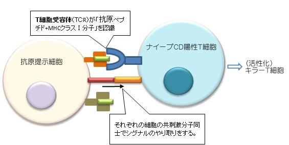 第2シグナルがないとTリンパ球は活性化されないことを示す図