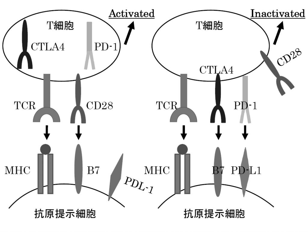 CTLA-4 PD-1について説明した図