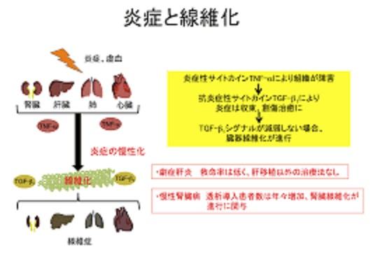 慢性的な炎症で線維化が進行することを示す図