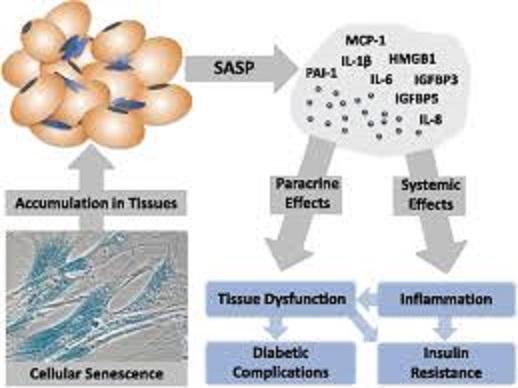 老化細胞がSASP因子を分泌し炎症反応を起こすことを示す図