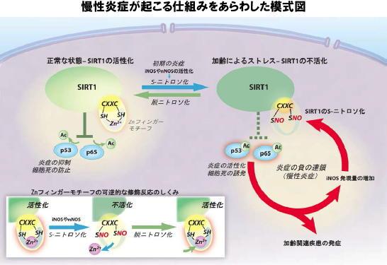 慢性炎症とサーチュイン遺伝子の関係を示す図