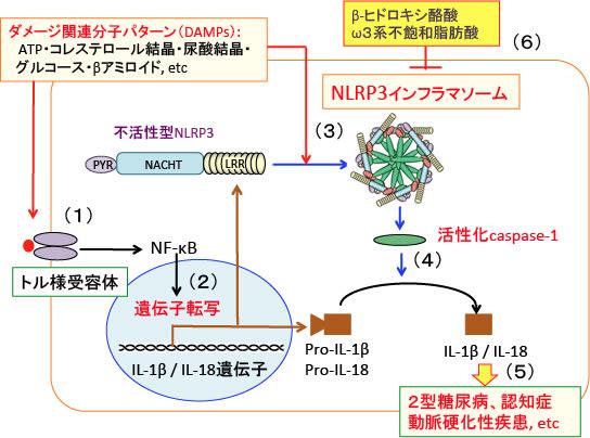 アミロイドβがNLRP3を活性化して炎症を導くことを示す図