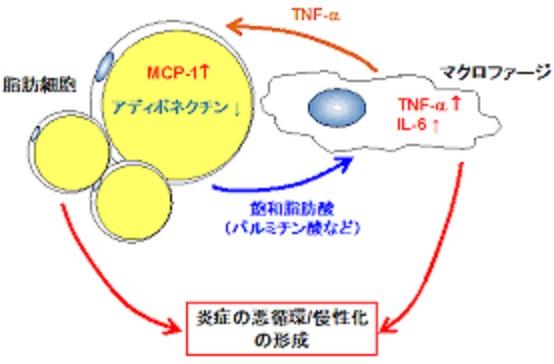 TNF-αによる炎症の増強を示す図