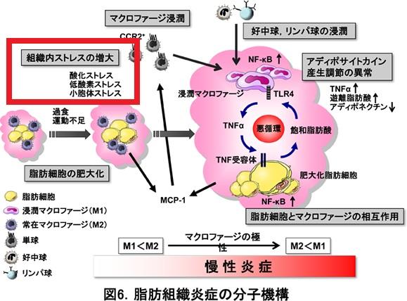 肥満 動脈硬化と慢性炎症2