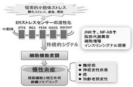 細胞内ストレスの慢性炎症への関与機序を示す図