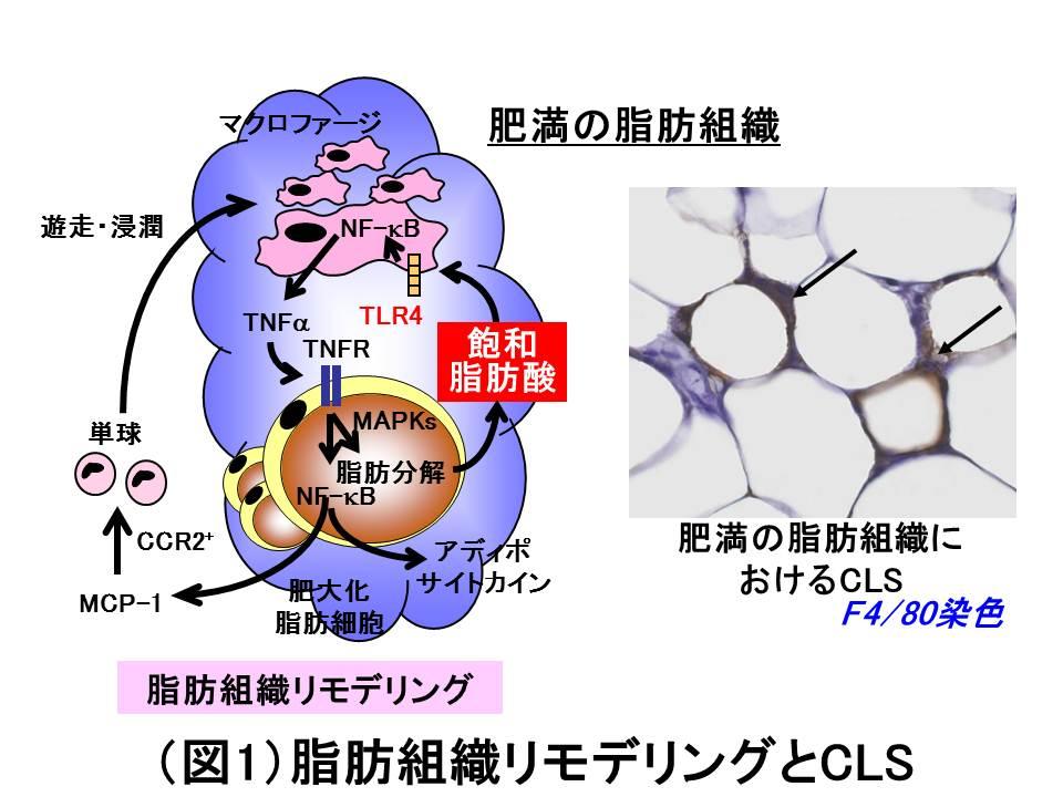 肥満脂肪組織におけるCLSの存在を示す図