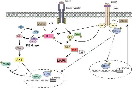 インスリン レプチンの細胞内シグナル伝達系について解説した図