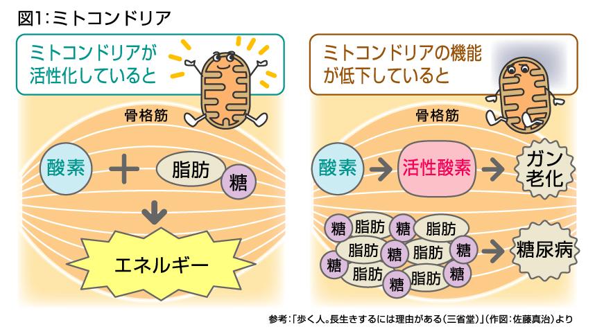 ミトコンドリアの機能が低下すると活性酸素が大量に産生されることを示す図