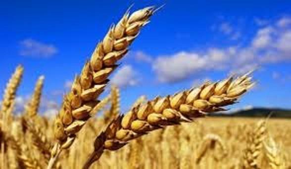ライ麦の復活