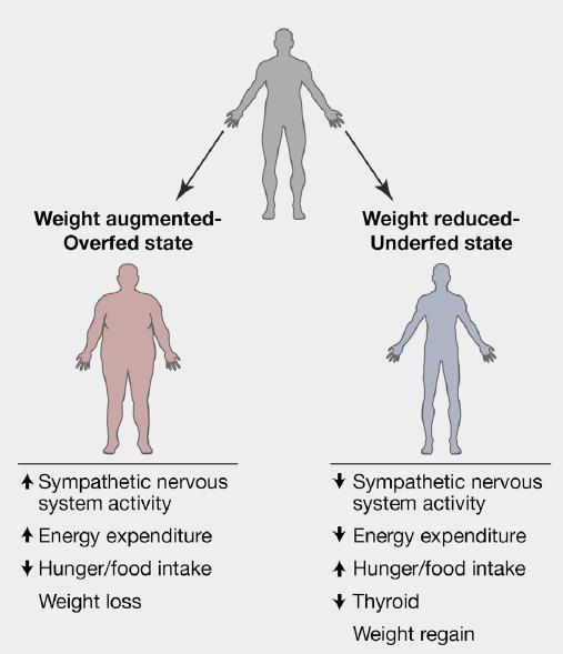 体重が増減した際に体内で起こるセットポイント反応について説明した図