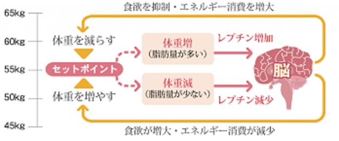 レプチンによる食欲 体重のコントロールを解説する図