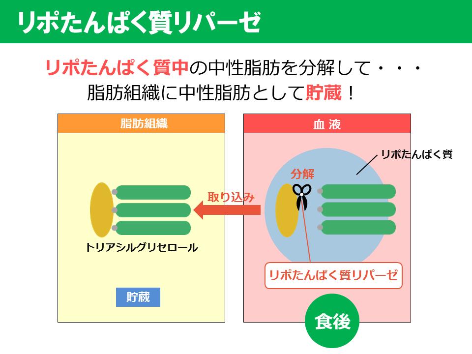 脂肪の蓄積・分解に関わる酵素の説明図2