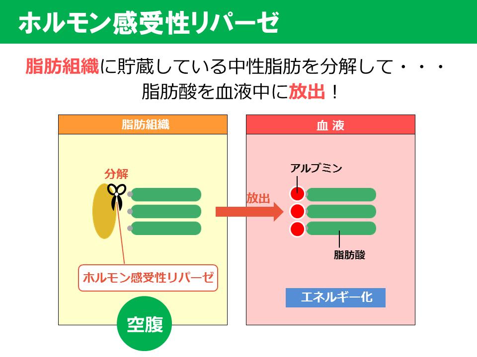 脂肪の蓄積・分解に関わる酵素の説明図1