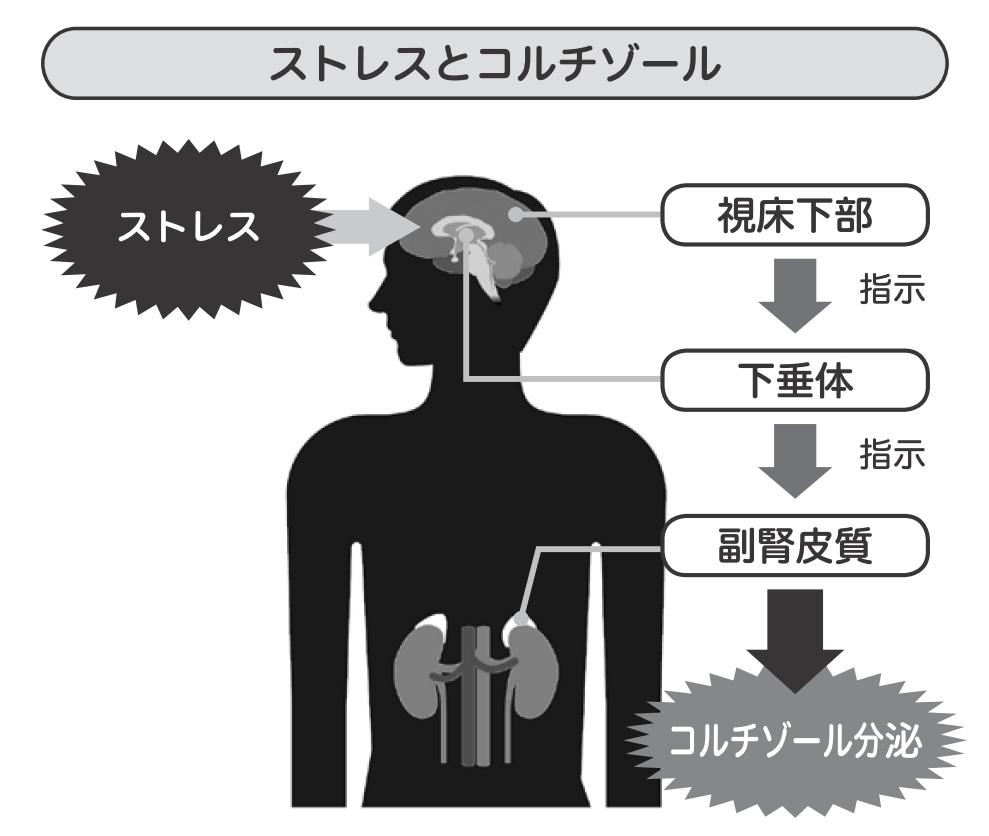 ストレスでコルチゾールが分泌されることを説明する図