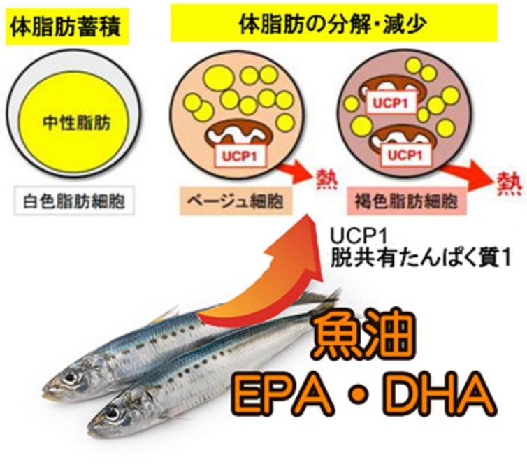 EPA DHAなどがUCP-1の発現を向上させることを示す図