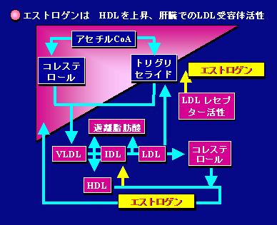 エストロゲン減少により血中LDL-Cが増加する機序を説明した図