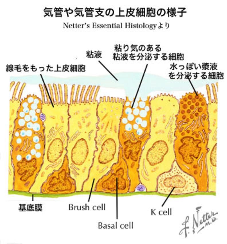分泌物を産生する気道粘膜の細胞の説明図