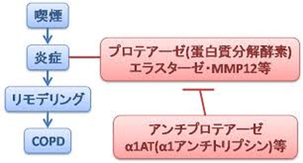 COPDでのプロテアーゼ・アンチプロテアーゼのバランスの崩れを説明する図