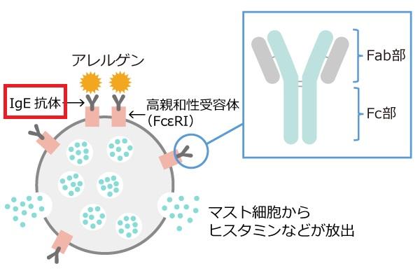 IgE抗体について説明する図