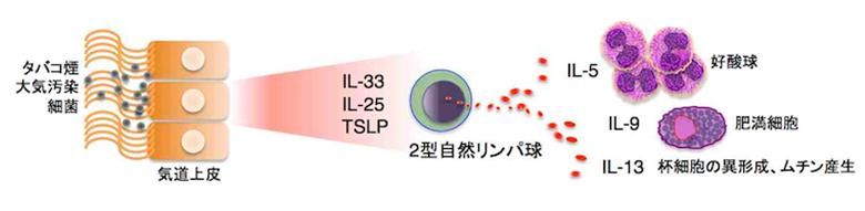 2型自然リンパ球の働きを説明する図
