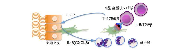 Th17リンパ球 ILC3 IL-8の関与を示す図