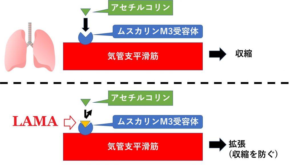 長時間作用性抗コリン薬の作用機序を説明する図