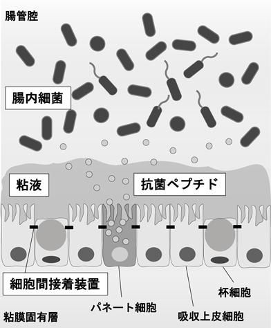 腸管バリアを構成する細胞の説明図