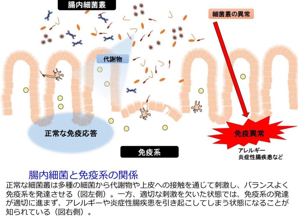 腸内細菌叢の異常による免疫異常の誘導を示す図