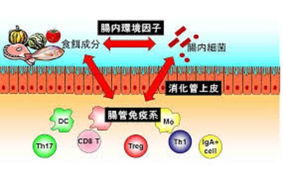腸内細菌と自然免疫細胞の関わりを示す図