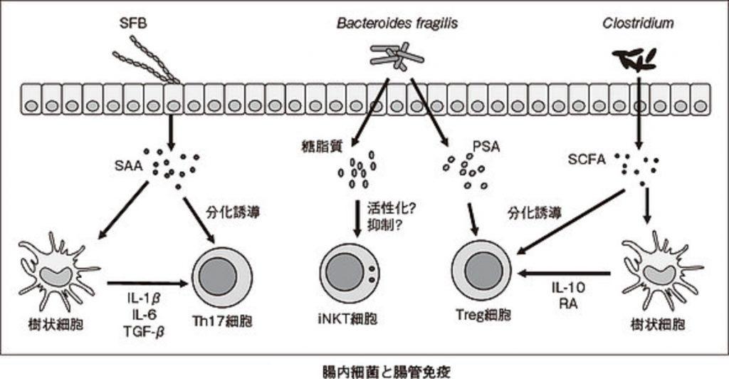 腸内細菌叢による免疫系の機能発現制御を示す図