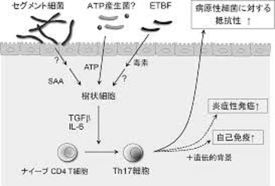 セグメント細菌(SFB)によるTh17細胞の分化誘導を示す図