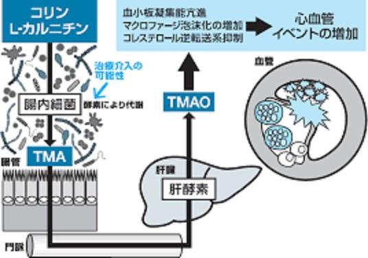 肉類の摂取でTMAOが増えることを示す図