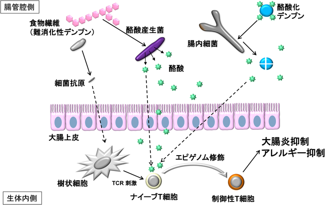 腸内細菌により産生された酪酸とアレルギーとの関連をまとめた図