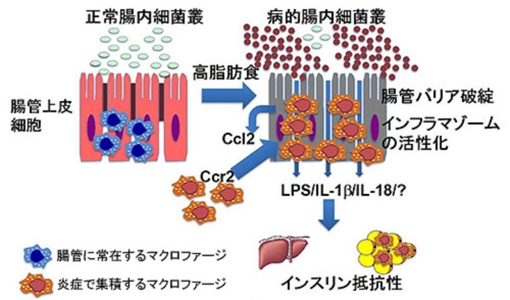 腸管のバリア機能低下により肥満になることを示す図