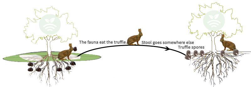 動物がトリュフの生息地を拡げるさまを示す図