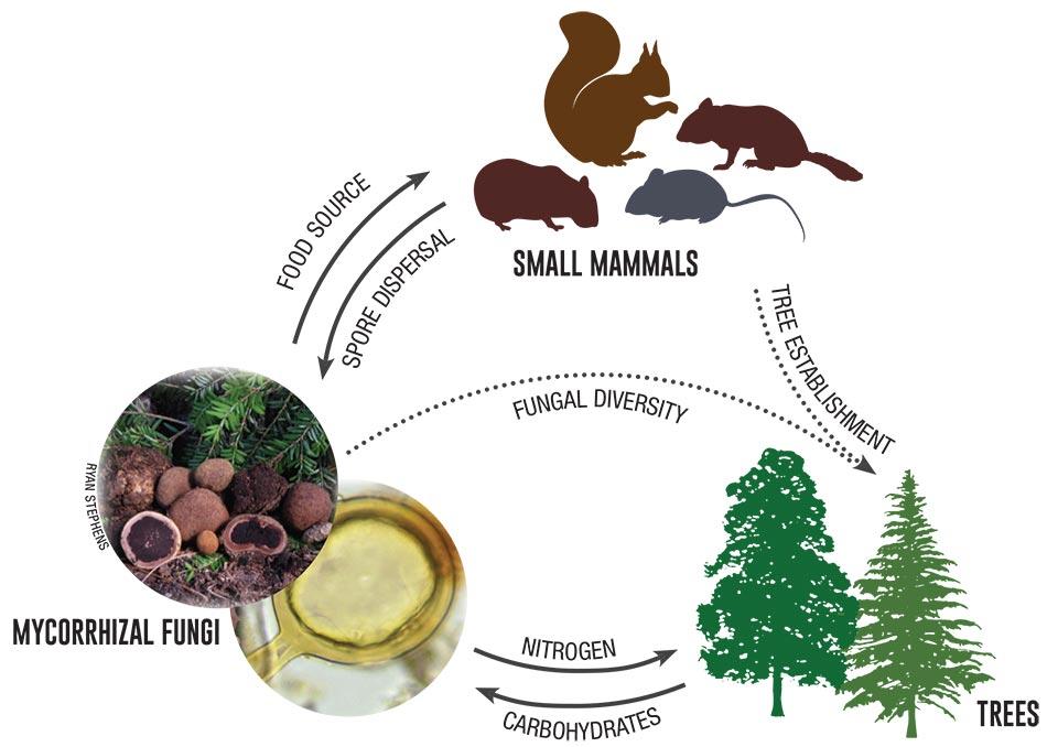 木とトリュフと動物の生態系のトライアングルを示す図