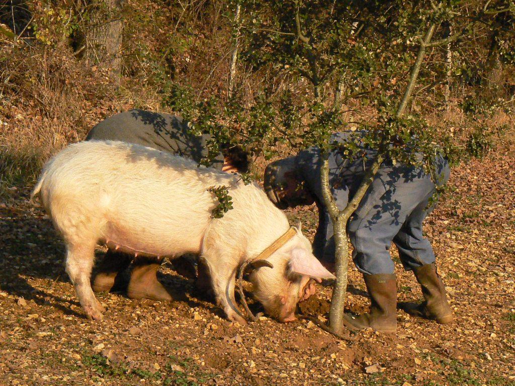 豚とトリュフを探す現代の人
