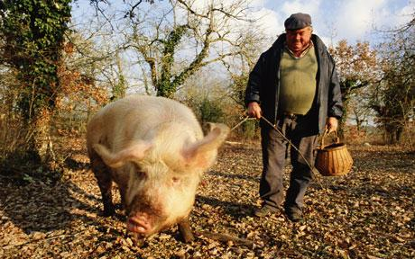 トリュフを探す豚