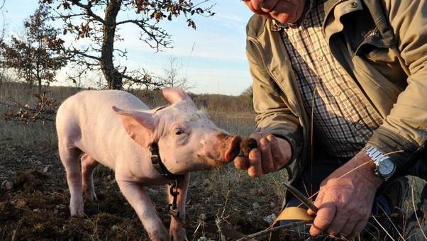 見つけたトリュフを食べる豚