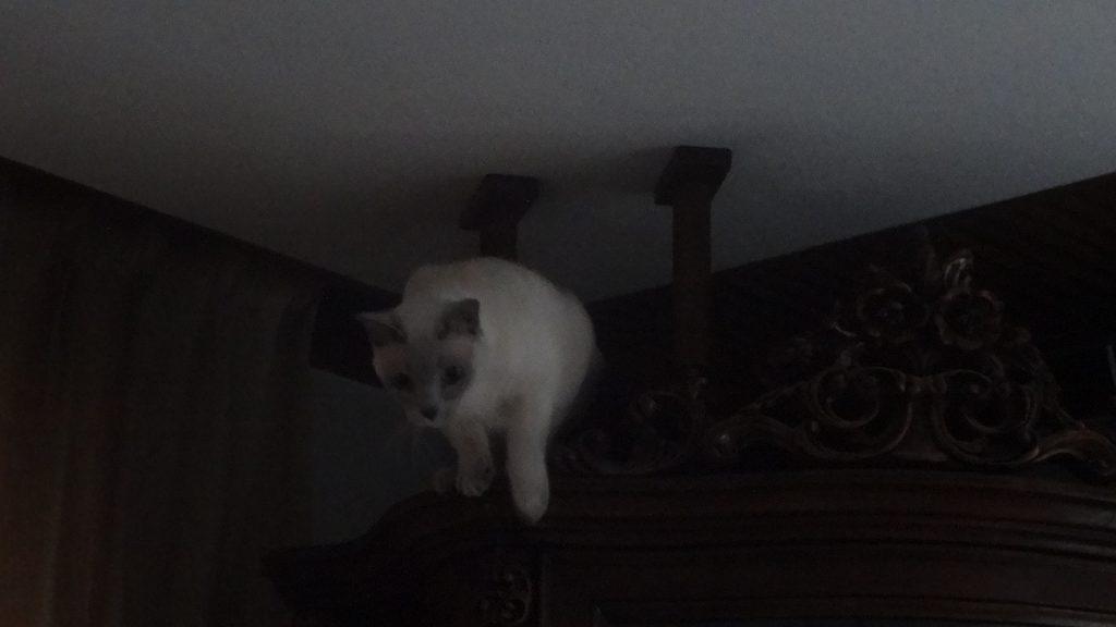 飾り棚の上からテーブルの方にジャンプする楓