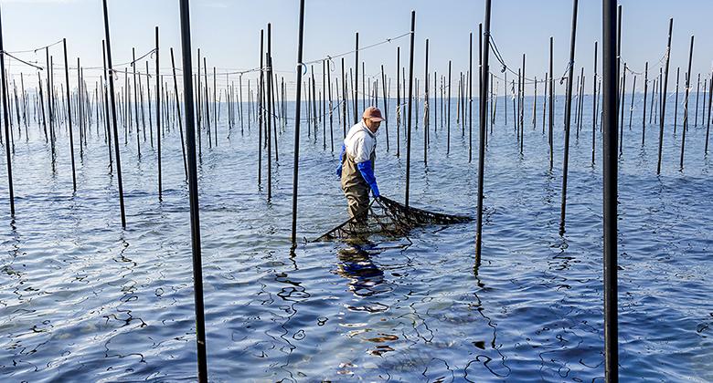 海中に竹の小枝の「ヒビ」を立てて海苔を獲っている様子