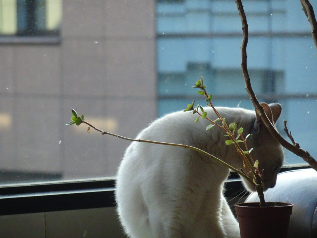 新芽齧りする楓