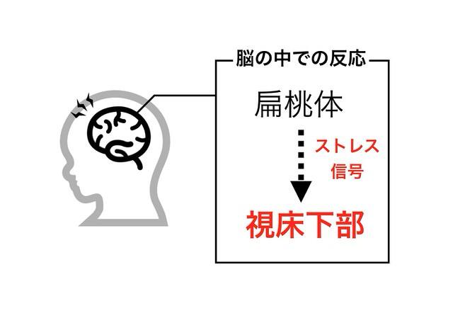 扁桃体から視床下部への情報伝達を示す図