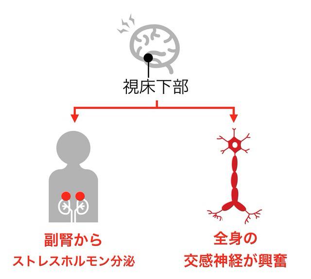 視床下部から副腎 交感神経への情報伝達を示す図