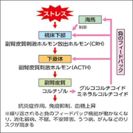 グルココルチコイド分泌の3段階調節を示す図