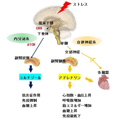 アドレナリンの分泌 作用を示す図