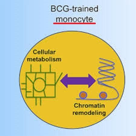 BCGによるエピジェネテイクス制御を介した単球活性化を説明する図